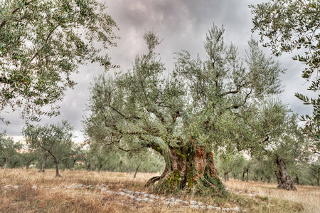 olive trees: very ancient olive tree, 1700 years old, growing in Umbria, Italy