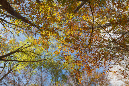 autumn in lush forest of green trees, view of tall beech treetops in the blue sky background, a bright and peaceful day in the wood   photo