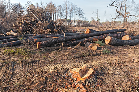 sawed: cutting of dead trees after the fire of pinewood - deforestation, sawing burnt trees Stock Photo