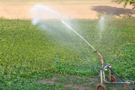 irrigator: field with young plants watered with the irrigator