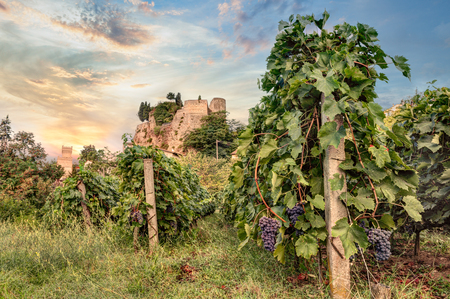 italian vineyard for wine production at dawn - rows of grapevine with a castle in the background in Emilia Romagna, Italy