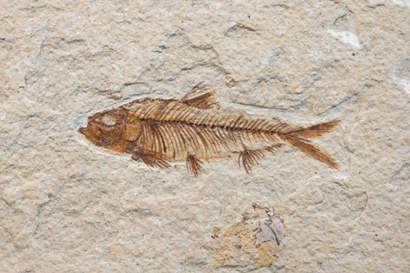 fossilized: prehistoric fossil fish enclosed in stone rock Stock Photo