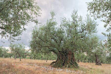 tronco: muy antiguo olivo, 1700 años de edad, creciendo en Umbría, Italia
