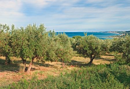 イタリアの風景: イタリア アブルッツォ州キエーティのアドリア海の海岸にオリーブの木の果樹園