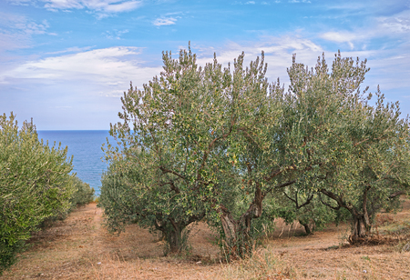 ocean plants: italian landscape, olive tree orchard on the coast of the Mediterranean sea in Italy Stock Photo