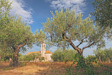 abruzzo: italian landscape: olive tree orchard with church in the background in Chieti, Abruzzo, Italy