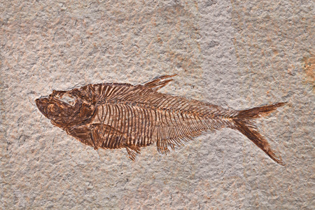 petrified fossil: prehistoric fossil fish enclosed in stone rock Stock Photo
