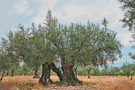 zeer oude olijfboom, 1700 jaar oud, groeien in Umbrië, Italië