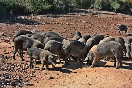 Tuscany, Italy: livestock of Cinta Senese, typical italian breed of domestic pig Stock Photo