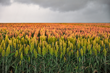 combustible: field of sorghum, named also durra, jowari, or milo. Is cultivated for its grain and used for food for animals and humans, and for ethanol production Stock Photo