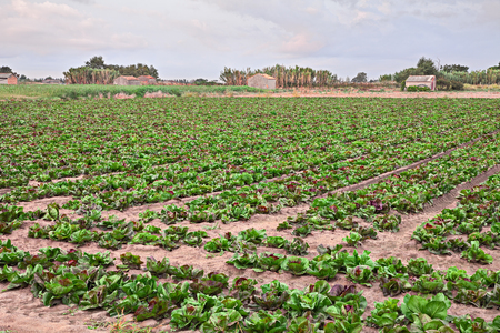 Chioggia, Venice, Italy: field of radicchio of Chioggia, famous variety of Italian chicory cultivated in the sandy soil of the Po river delta