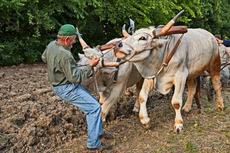 farmer leads the oxen that pull the plow, recalling the old farm work during the festival Sagra paesana on May 10, 2017 in Bastia, Ravenna, Italy Editorial
