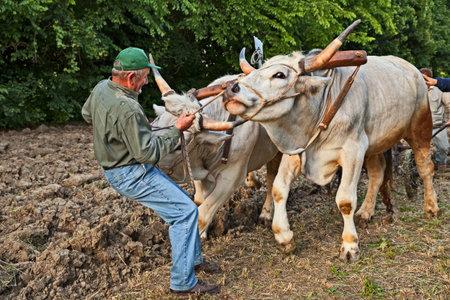 rolnik prowadzi woły ciągnące pług, wspominając starą pracę w gospodarstwie podczas festiwalu Sagra paesana 10 maja 2017 r. w Bastii, Rawenna, Włochy Publikacyjne