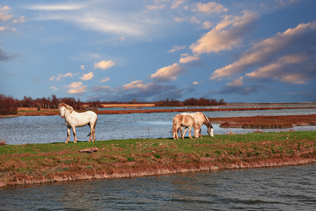 Po Delta Park, Ravenna, Emilia-Romagna, Italy: landscape of the swamp in the nature reserve with wild white horses grazing in the wetland