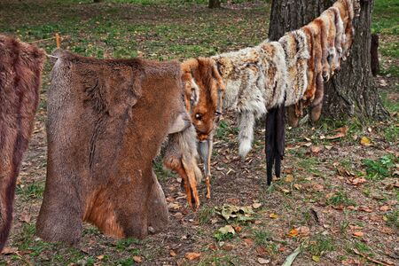 row of wild animal skins hanging from a rope - craft tanned leather of an ancient tannery