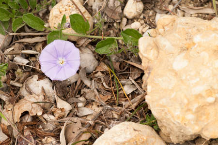 small flower: Small flower violet