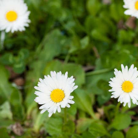 daisys: Field daisy flowers