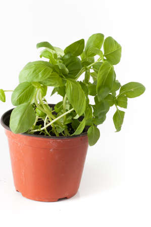 gardena: basil plant with pot and roots