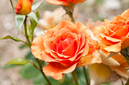 beautiful rose: beautiful rose