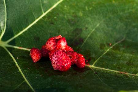 fig leaf: Closeup of wild strawberries on a fig leaf