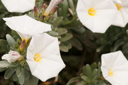 foglie: white flowers grown in the country in the spring Stock Photo