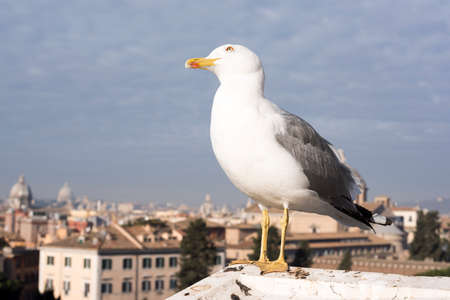 emporium: Seagull with background of view from Altare della Patria of the Roman Forum.