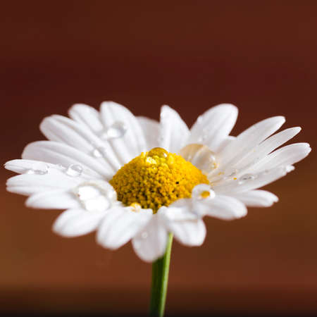 marguerite: closeup of a daisy flower with dew drops on colorful background. Symbol of spring Stock Photo