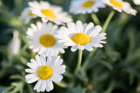 closeup of daisies in a green field of spring grass.