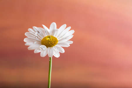 closeup of a daisy flower with dew drops on colorful background. Symbol of spring Stock Photo