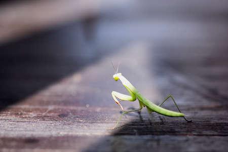 closeup of a praying mantis on a wooden floor
