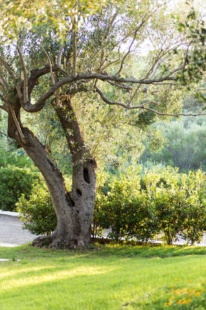 secular olive tree in the Italian campaign