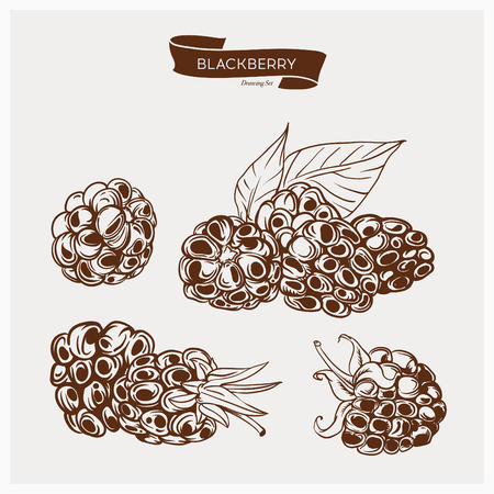 hand drawn: Illustration set of drawing berry. Hand draw illustration set for design. Vector engraving drawing antique illustration of berry with leafs.