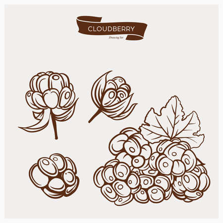 chicout�: Illustration set of drawing Cloudberry. Hand draw illustration set for design. engraving drawing antique illustration of Cloudberry with leafs. Illustration