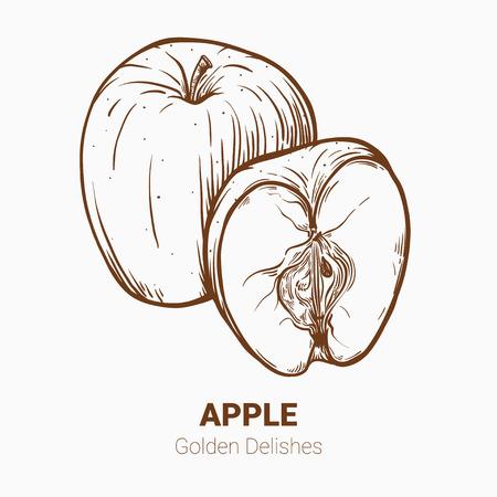Illustration set of drawing apples Golden delicious elements. Hand draw illustration set for design. Illustration