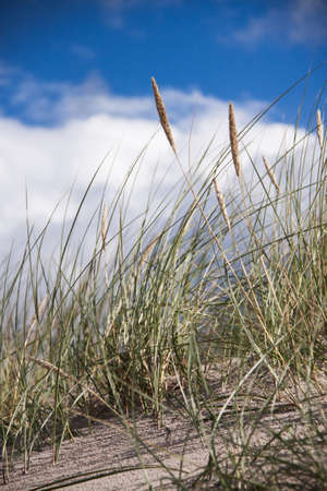 sawgrass: Seaside grass closeup with cloudy sky