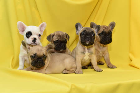 Puppies of the French Bulldog Stock Photo