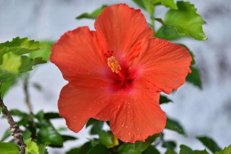 Hibiscus. Flowers in nature. Stock Photo