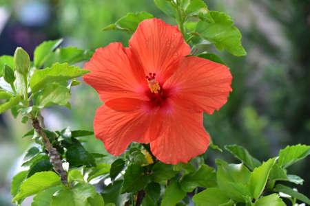 Flowers in nature. Hibiscus.