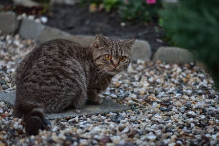 British Shorthair. Color: chocolate spotted. Stock Photo