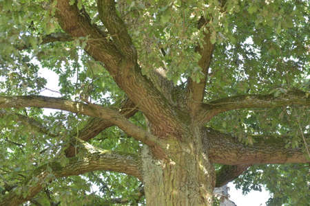 Powerful branches of oak