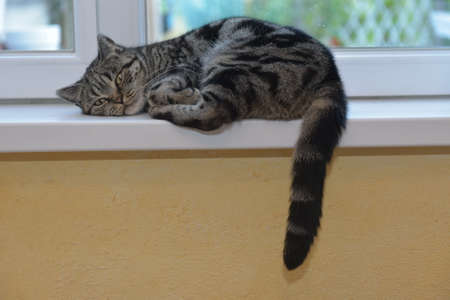 The cat lies and the tail hangs