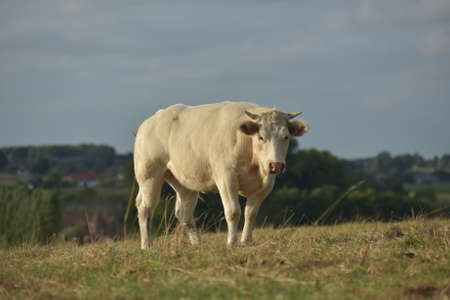 Big, white cow in nature