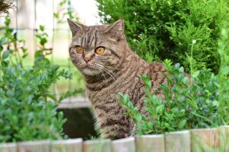 Chocolate cat with orange eyes Stock Photo