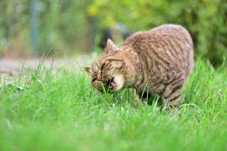 A cat is eating green grass in the garden Stock Photo
