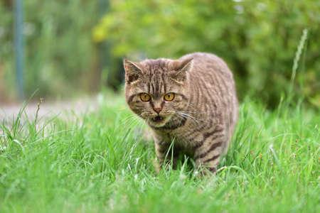 Cat shows fangs