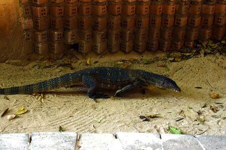 Monitor lizard in the sand near a brick wall. Varan on the railay peninsula
