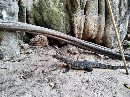 A monitor lizard in the sand at the foot of a cliff. Varan on the railay peninsula
