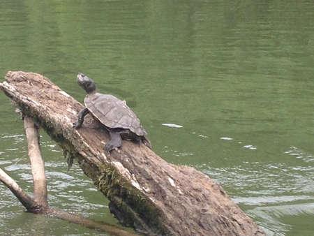 sun bathing: Sun bathing turtle on the meramec river