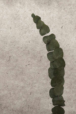 eucalyptus: vintage wallpaper background with leaf of eucalyptus