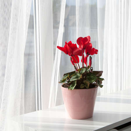 balcony window: red cyclamen flowers in pot on a window in balcony